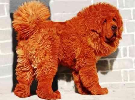 El perro más caro del mundo 3